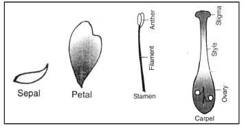 Vegetative Reproduction and Reproduction in Flowering Plants Class 10 Notes | EduRev