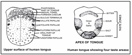 Digestive System, Chapter Notes, Class 11,Biology Class 11