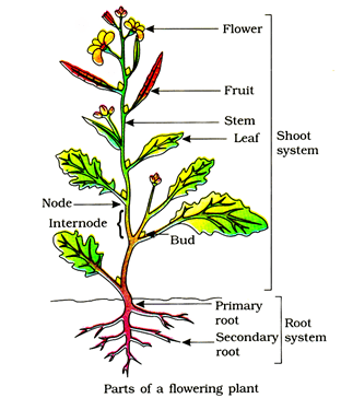 Morphology Of Flowering Plants, Chapter Notes, Class 11