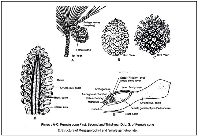 Doc  Pinus Neet Notes