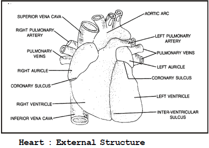 Circulatory System and The Human Heart Class 10 Notes | EduRev
