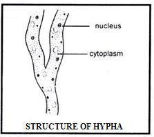 Doc: Albugo Or Cystopus NEET Notes   EduRev