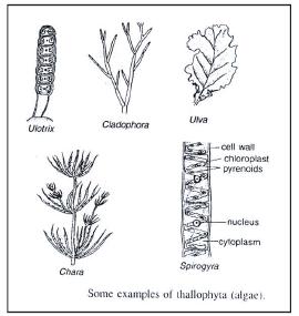 Plant Kingdom Class 9 Notes   EduRev