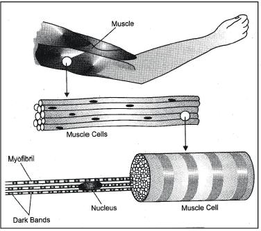 Animal Tissues Class 9 Notes | EduRev
