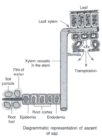Transportation in Plants - Transportation In Plants, Class 10, Science   EduRev Notes