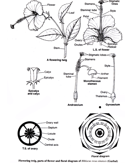 Families Of Angiosperm Chapter Notes Class 11 Biology Class 11