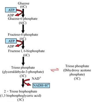 NCERT Solutions - Respiration in Plants NEET Notes   EduRev
