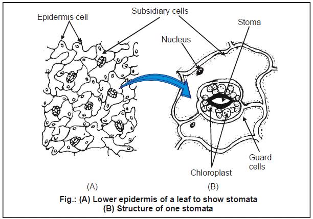 Transpiration, Chapter Notes, Class 11, Biology Class 11