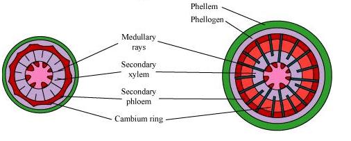 NCERT Solutions - Chapter 6 : Anatomy of Flowering Plants, Class 11, Biology   EduRev Notes
