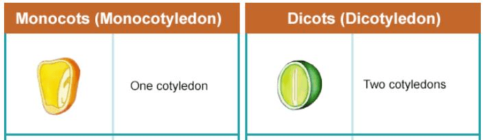 Theory - To study the external features of Monocot and Dicot plants., Biology, Science, Class 9 Class 9 Notes | EduRev