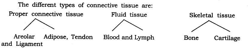 Short & Long Answer Questions- Tissues Class 9 Notes | EduRev