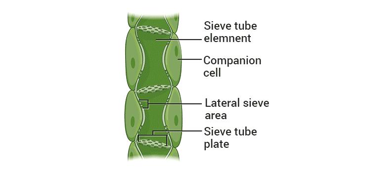 NCERT Exemplar: Tissues Notes   EduRev