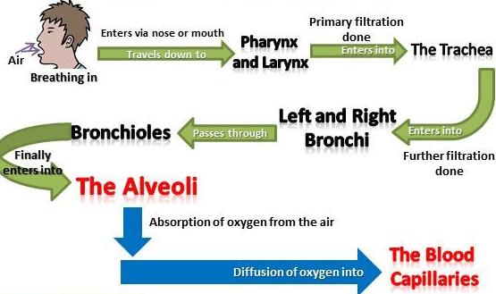 Aerobic and Anaerobic Respiration Class 10 Notes | EduRev