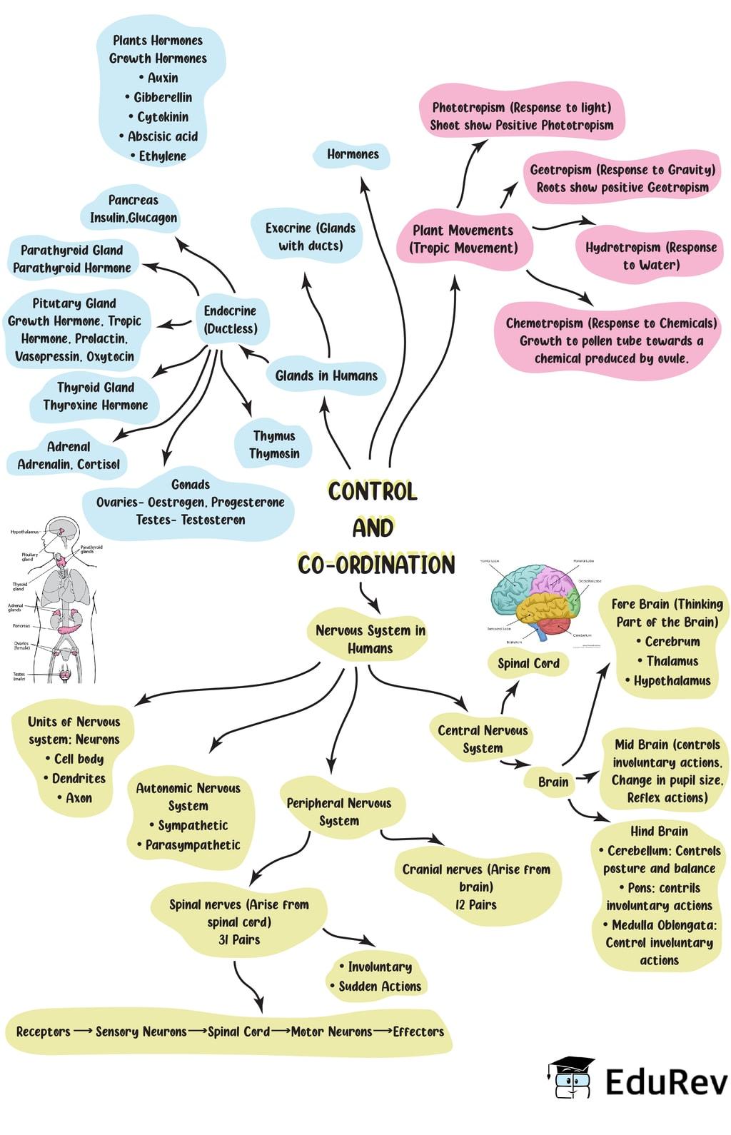Mindmap: Control and Coordination Class 10 Notes   EduRev