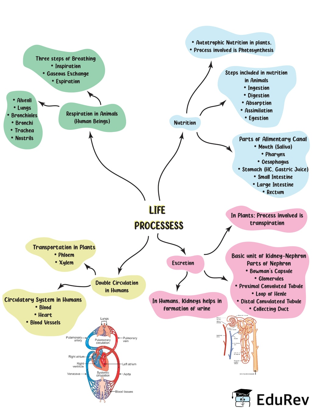 Mindmap: Life Processes Class 10 Notes | EduRev