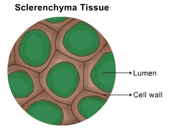 Theory - Identify parenchyma and sclerenchyma tissues in plants from the prepared slides, Biology Class 9 Notes | EduRev