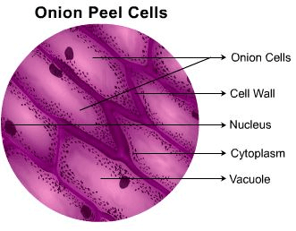 Theory - To Prepare Stained Temporary Mount of Onion Peel, Biology, Science, Class 9 Class 9 Notes | EduRev