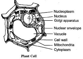 NCERT Exemplar - Cell - The Fundamental Unit of Life Class 9 Notes | EduRev