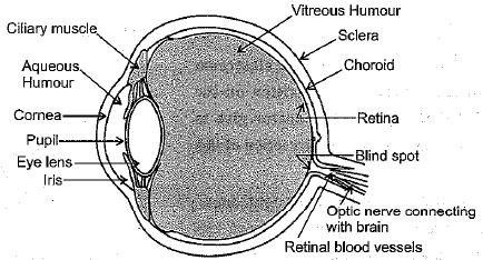 NCERT Exemplar: The Human Eye and the Colourful World Notes | EduRev