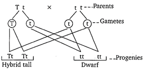 NCERT Solutions - Heredity and Evolution Class 10 Notes | EduRev
