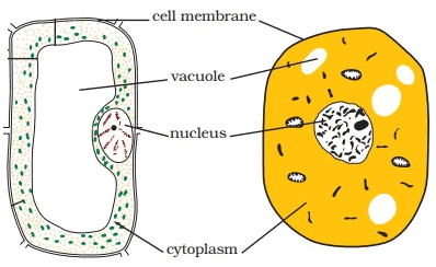 NCERT Solutions - Cell Structure & Functions Class 8 Notes | EduRev