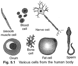 Chapter Notes - Cell - The Fundamental Unit of Life Class 9 Notes | EduRev