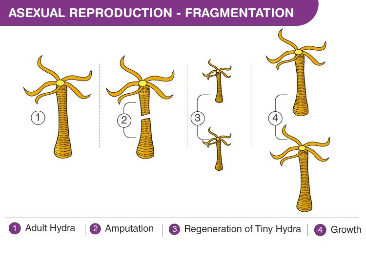 Modes of Reproduction Class 10 Notes   EduRev