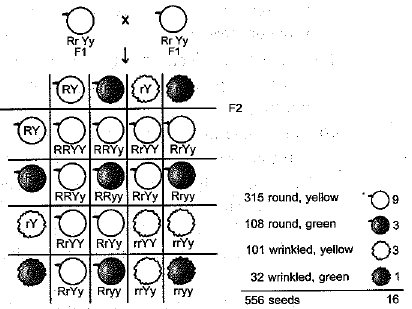 Previous Year Questions - Heredity and Evolution Class 10 Notes | EduRev