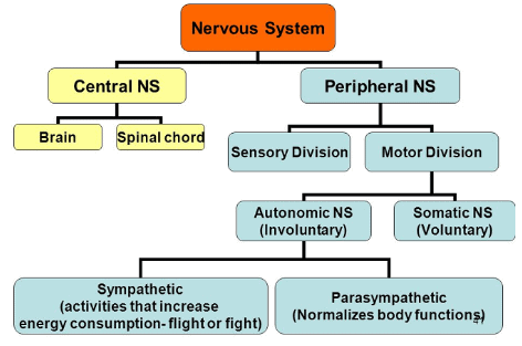 The Central Nervous System and Human Brain Class 10 Notes | EduRev