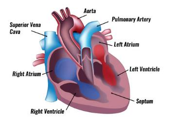 Explain the structure and function of the heart. 10 marks ...