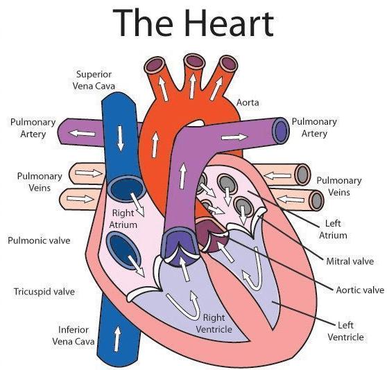 STRUCTURE OF HUMAN HEART Class 10 Notes | EduRev