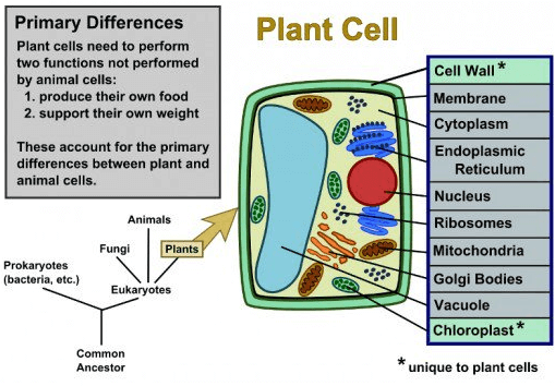 Diagrame of plant cell and animal cell Class 9 Notes | EduRev