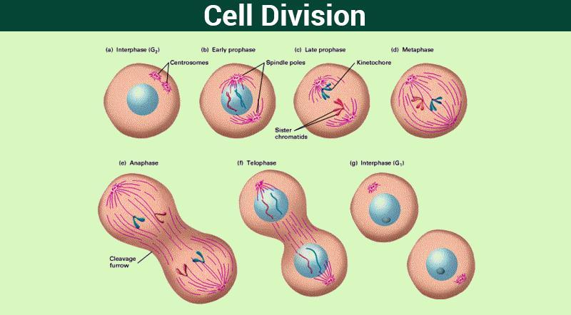 Cell division - Class 11 Class 11 Notes | EduRev
