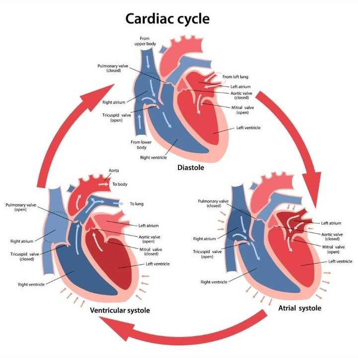 What is a cardiac cycle? | EduRev Class 10 Question