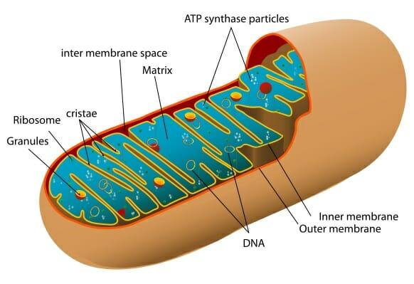 Mitochondria - Definition, Function & Structure | Biology Dictionary
