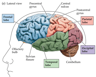 Nervous system - Notes, Biology, IAS UPSC Notes | EduRev