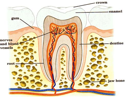Digestive System - Notes, Biology, IAS UPSC Notes | EduRev