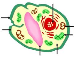 Cell Organelles - Notes, Biology, IAS UPSC Notes   EduRev