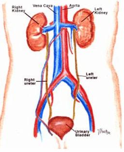 Excretory System - Notes, Biology Notes | EduRev