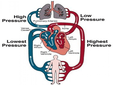 Circulatory System - Notes, Biology Notes | EduRev