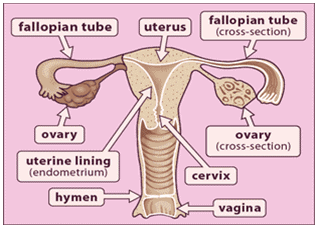 Reproductive System - Notes, Biology Notes | EduRev