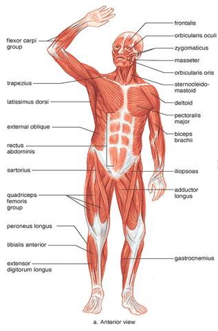 Muscular System - Notes, Biology, IAS UPSC Notes | EduRev