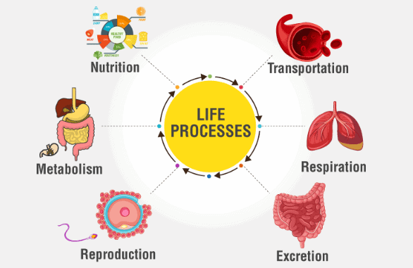 Overview of Life Processes (part -1) Class 10 Notes | EduRev