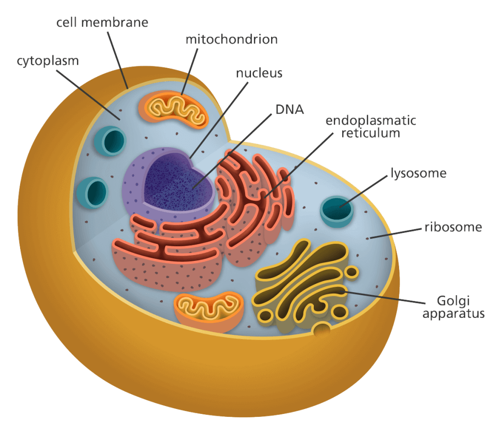 Cell, Types of Cell and Organisms Class 9 Notes | EduRev