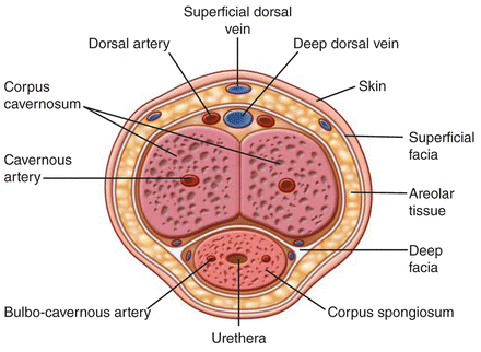 Male Reproductive Gland NEET Notes | EduRev
