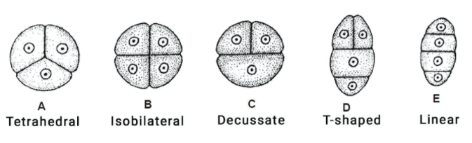 Microsporogenesis NEET Notes | EduRev
