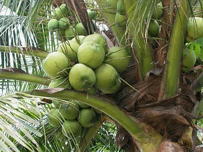 Doc: Plantation Crops UPSC Notes | EduRev