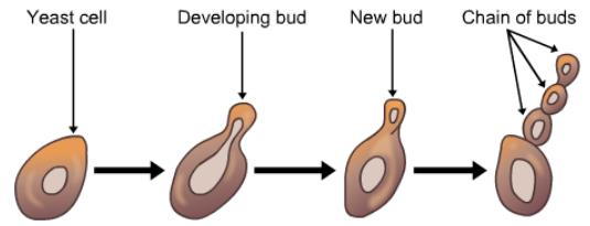 Theory & Procedure, Asexual Reproduction in Amoeba and Yeast Class 10 Notes | EduRev
