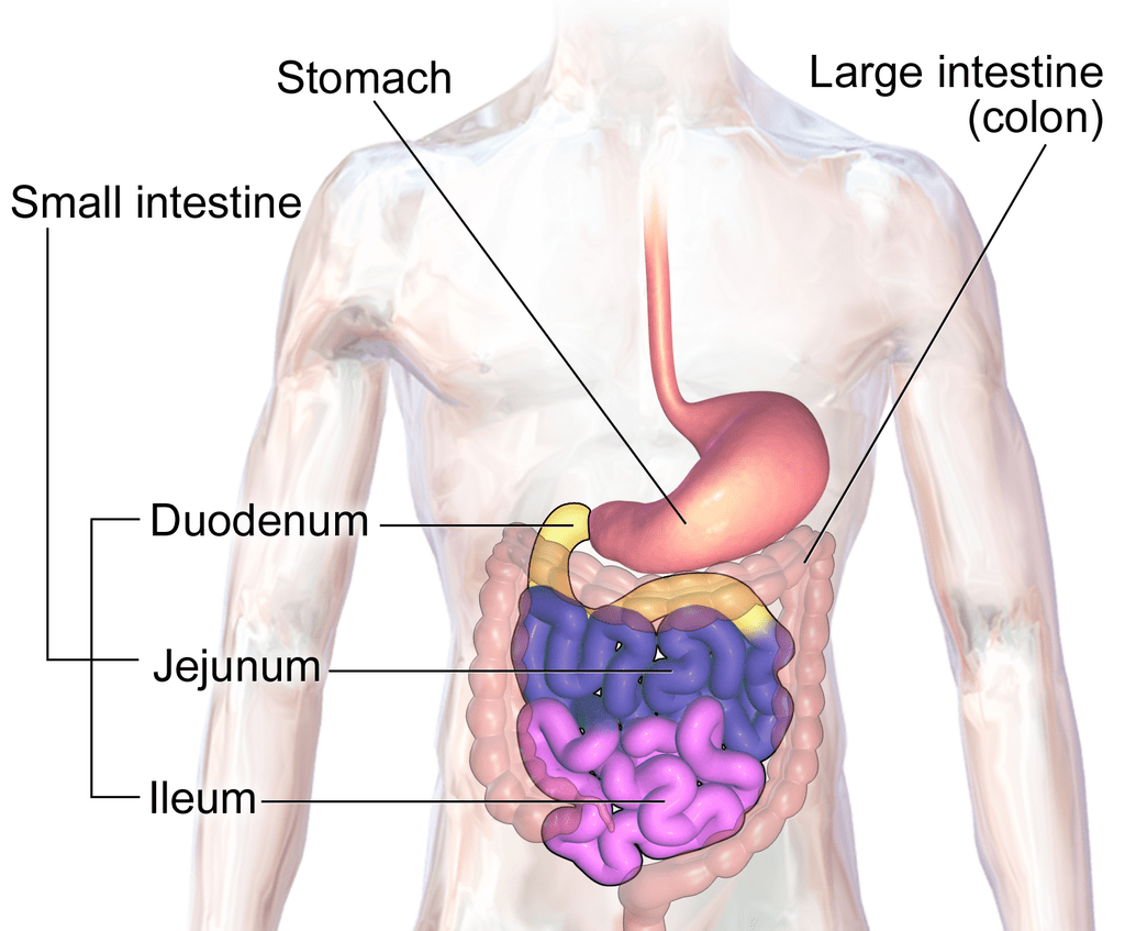 Stomach, Gastric Glands and Intestines NEET Notes   EduRev