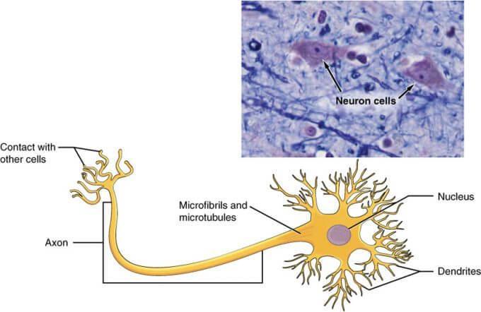 Types of Neurons NEET Notes | EduRev